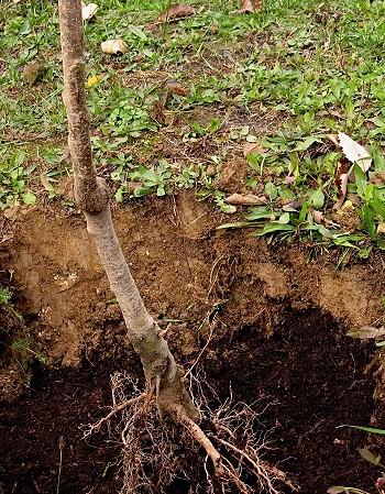 Особенно важен уход за почвой у